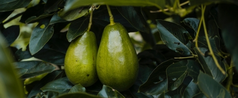 Love avocados? Thank the toxodon